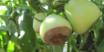 tomatoes rotting on bottom